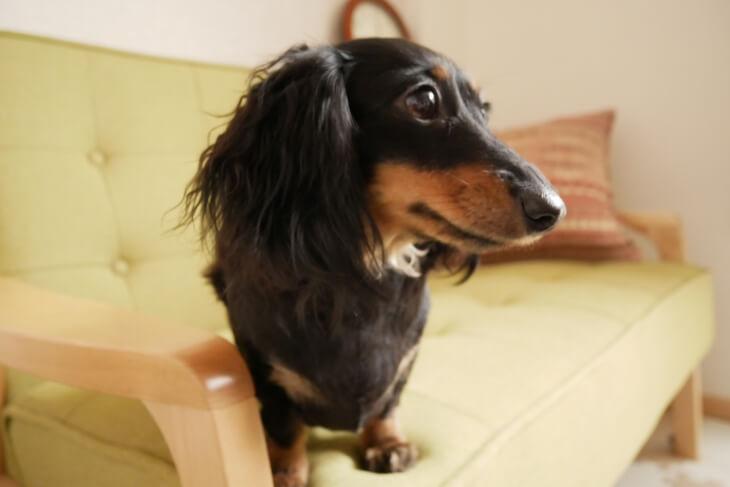 家トリミング直後の犬画像