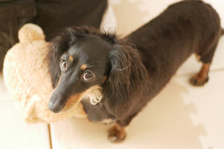 シャンプー&ドライヤー直後の愛犬画像