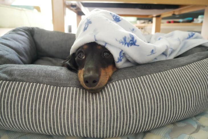 ニトリのペットベッドで寝る愛犬画像
